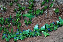 220px-Many_parrots_-Anangu,_Yasuni_National_Park,_Ecuador_-clay_lick-8