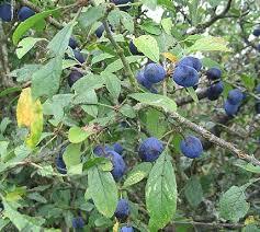 fruit épine noire
