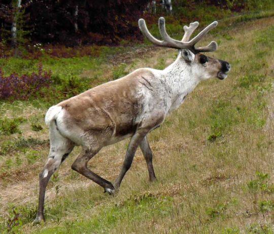 animal_caribou_renne_cervides_3d