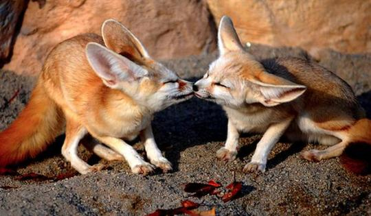 Fennec-animal-plus-mignon-10