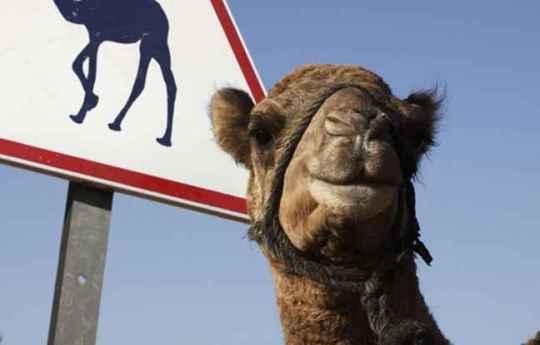 2048x1536-fit_emirats-arabes-unis-chameaux-priorite