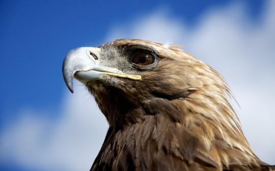 animal-eagles-bird-golden-eagles-closeup-2560x1600