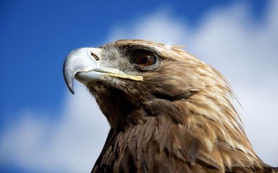 animal-eagles-bird-golden-eagles-closeup-2560x1600