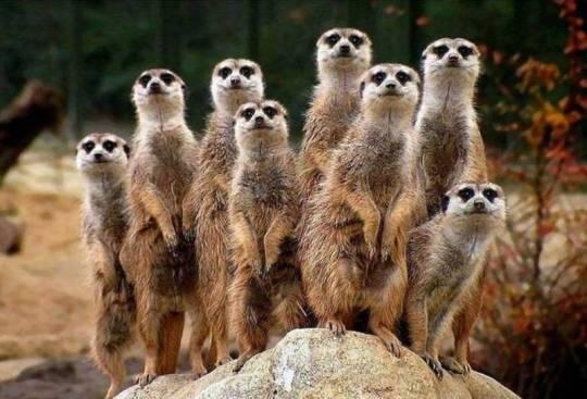 Marmottes--chiens-de-prairie-fond-d-ecran-animaux--animal-wallpaper