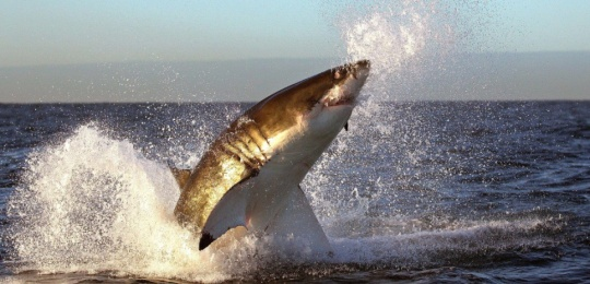 """Exclusive Mandatory Credit: Photo by Alfred Weissenegger / Rex Features ( 1186384f ) A great white shark breaching out of the water in an attempt to catch a seal World Cup Fans Beware: These Locals Aren't So Friendly WORLD CUP FANS BEWARE: THESE LOCALS AREN'T SO FRIENDLY Football fans better be careful if thinking of taking a dip in South Africa during the World Cup - the local sharks pull off some amazing manoeuvres to tackle fresh meat. Visitors to Cape Town - where the Green Point Stadium hosts Uruguay/France on the tournament opening day (11 June) - will find plenty to cheer about outside the stadium if they witness the awesome spectacle of great white shark breaching; where the predators leap out of the water to catch seals swimming close to the surface. Photographer Alfred Weissenegger snapped the breathtaking hunting skills of the sharks near Seal Island in False Bay, 30km south of the capital. The area is acknowledged as the best place in the world to witness the sharks leaping out of the water. This is mainly due to the presence of around 64,000 cape fur seals that call the island home from April to September. With such an abundant food supply close by, great whites patrol the seas for young and inexperienced seal pups.  And they get plenty of opportunity; in order to reach the open sea to feed the seals must first cross the shark-infested waters, or so called 'ring of death'. In a tactic known as 'spy hopping', the great white shark is also one of only a few sharks that regularly lift its head above the sea surface to sight their prey. It is believed that it enables them to smell better while hunting. Once a tasty target is spotted the shark approaches stealthily before swimming up and bursting through the waves with jaws open. Alfred says: """"As someone very interesting in taking pictures of wildlife I have to say this was one of the most amazing ... For more information visit http://www.rexfeatures.com/stacklink/EXOHNOGBH/Rex_WORLD_CUP_SHAR_11863"""