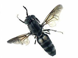 2003-0714-0101-KB021-Hermetia_illucens(specimen)-R