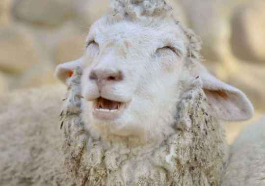2048x1536-fit_mouton-vit-japon-kobe-sourit-tout-temps