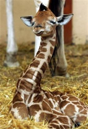 baby-girafe