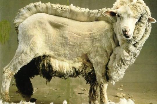 la-tonte-de-mouton-aux-j-o