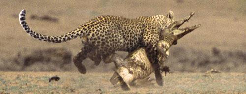 leopardcroco1