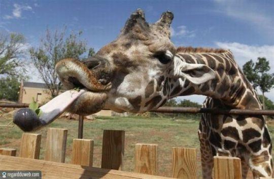 regardduweb-drole-insolite-animal-girafe1