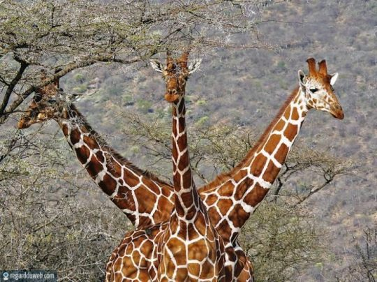 regardduweb-drole-insolite-animal-girafe11