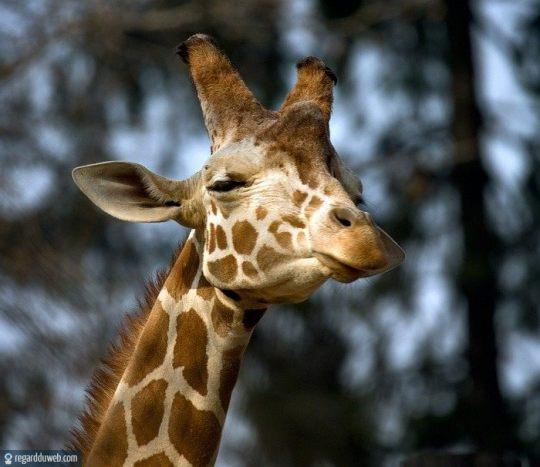 regardduweb-drole-insolite-animal-girafe2