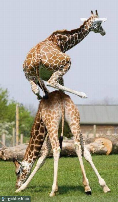 regardduweb-drole-insolite-animal-girafe6