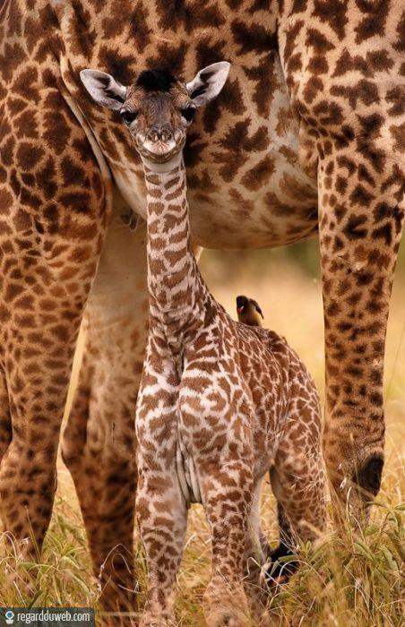 regardduweb-drole-insolite-animal-girafe7
