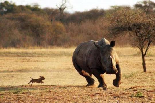 rhino-chien
