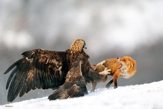 aigle-royal-renard1