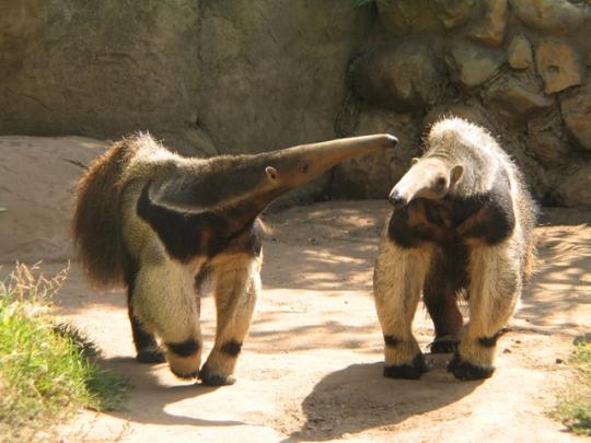 anteater conversation