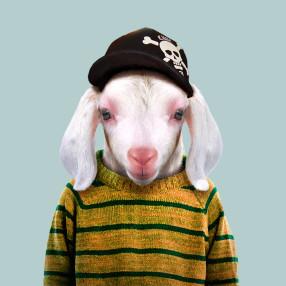 Domestic-Goat-Kid-Capra-Aegagrus-Hircus-286x286