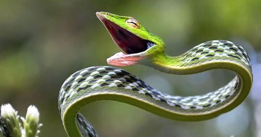 photographie-serpent-defense-venin-vert-asie-740x389