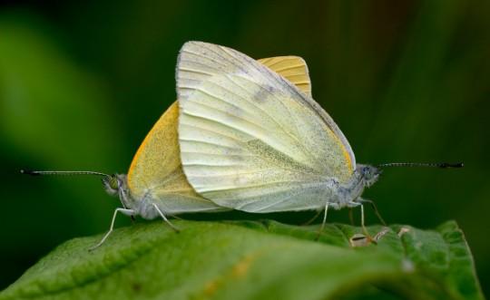 papillon-1024x629