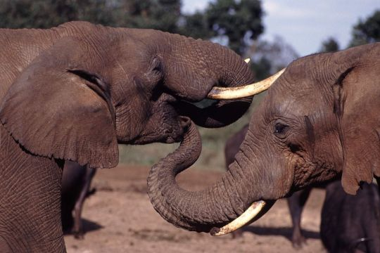 1024px-elephant_with_trunk_in_others_mouth