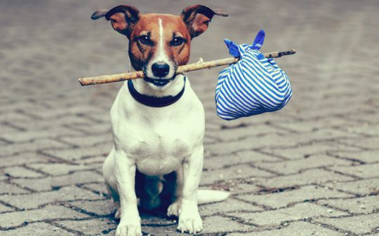 chien-baluchon-1080x675