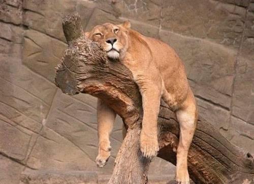 lion-fatigue