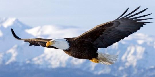 Homer, Alaska, United States --- Bald Eagle in mid-air flight over Homer Spit Kenai Peninsula Alaska Winter --- Image by © AlaskaStock/Corbis
