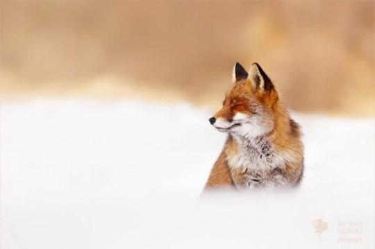zen-foxes-renards-roeselien-raimond-0