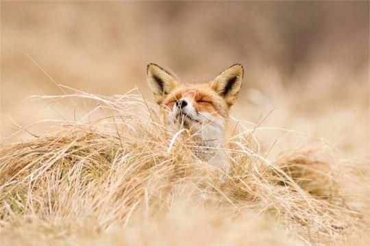 zen-foxes-renards-roeselien-raimond-7