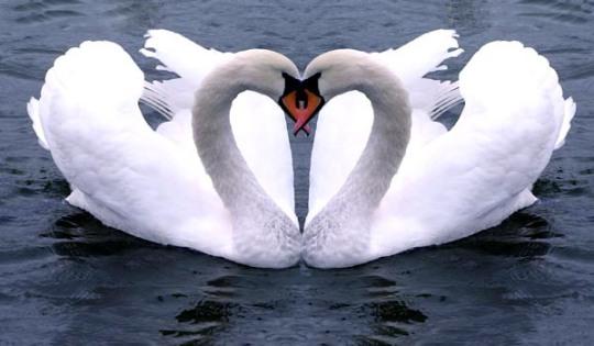 couple-de-cygnes-amoureux.jpg