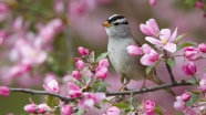 Spring-peach-blossom-and-the-birds_1920x1080