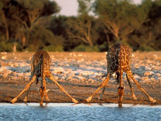 due_giraffe_1600x1200