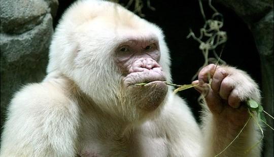 Gorille-575x330