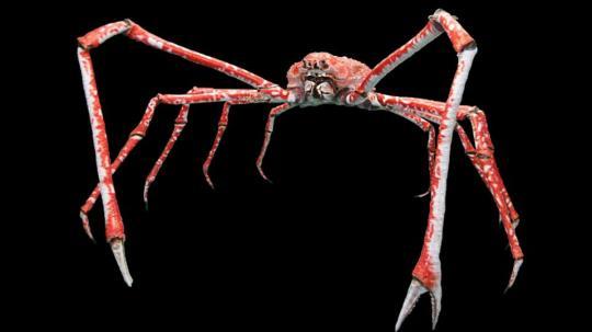 crabe-japon.jpg